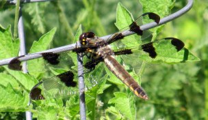 female 12-spotted skimmer dragonfly, Aug 2014