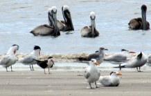 pelicansternsskimmergullsouthendJI27June2014