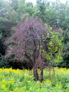 treestrangledbybittersweetKHNP22Aug2015