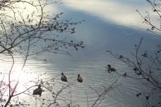 two pairs of ducks, 15 Nov 2012