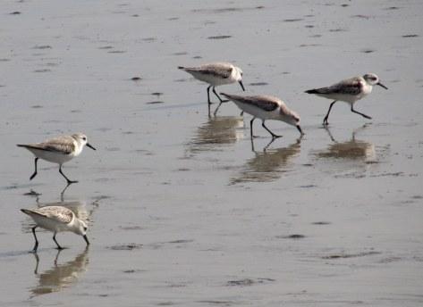 five sanderlings