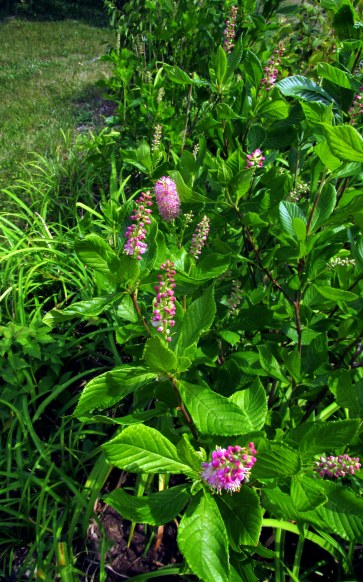 Ruby Spice clethra, 12 Aug