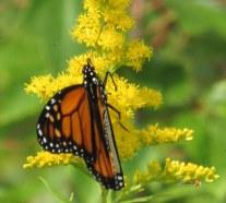 monarchbutterflygoldenrodclosewingsbkhnp3sept2016