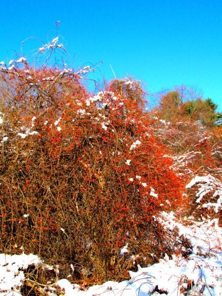 redberrythicketodiornepointstateparkryenh29nov2014