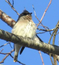 fluffy waxwing