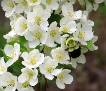 bumblebeeonTinacrabapple26May2015