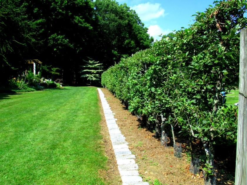 Belgian Fence - apple espalier