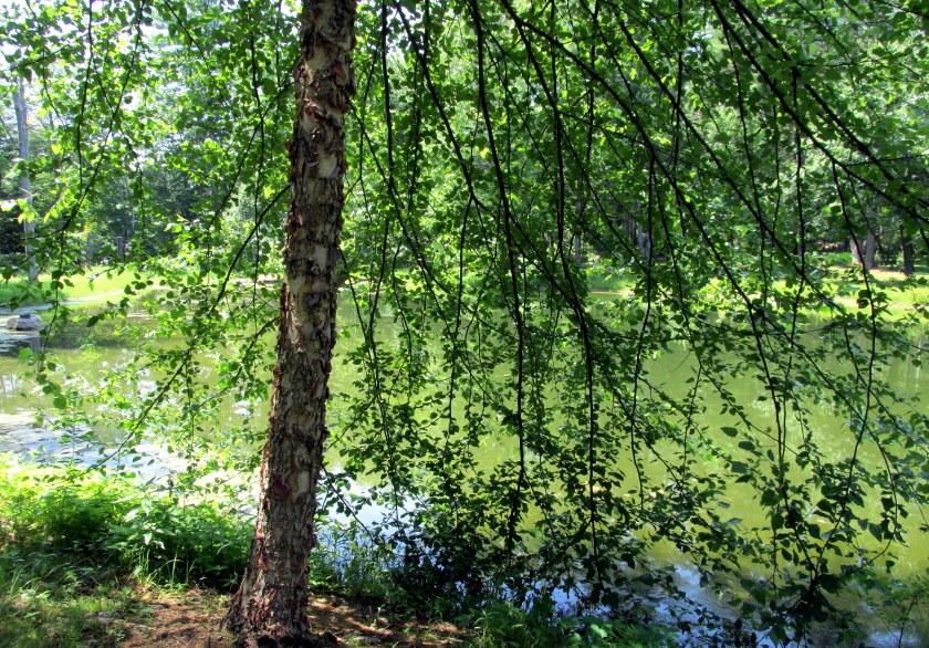 pond view through birch