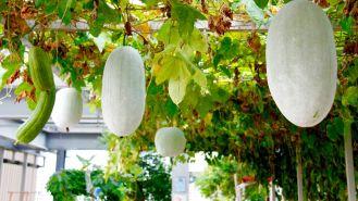 amozonia urban farming ktph