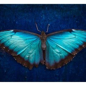Papillon bleu sur acrylique imprimée