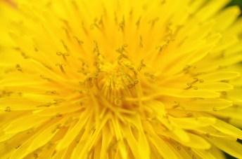 dandelion insides