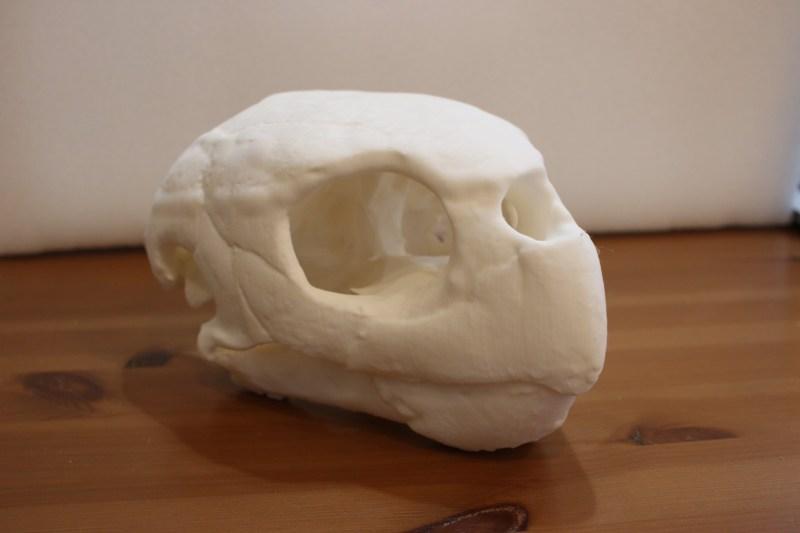 アカウミガメの頭骨模型