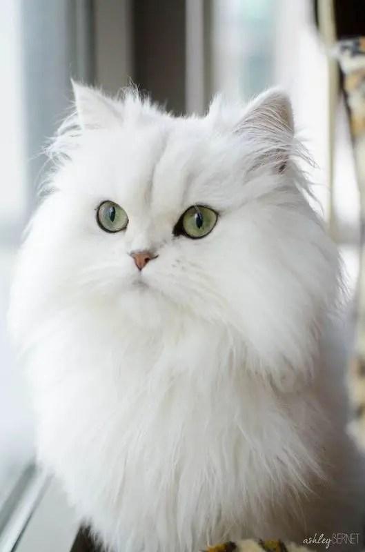 Gato branco e peludo