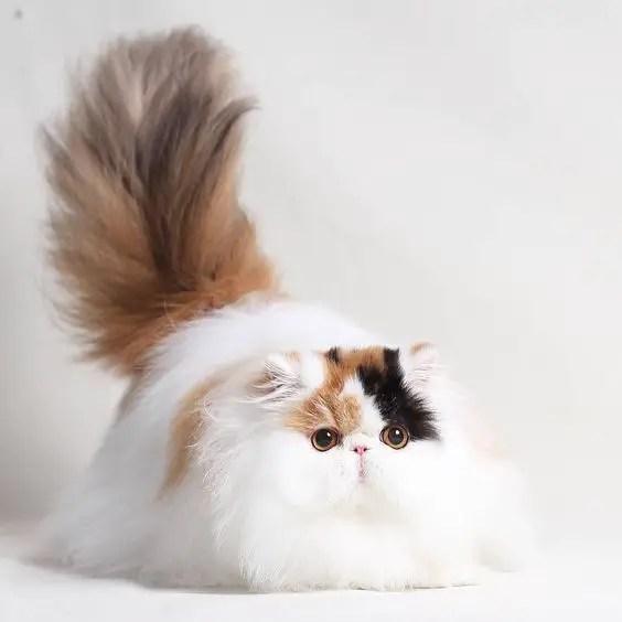 Gato muito peludo