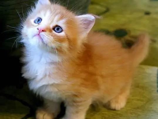 Gatinho de olhos azuis