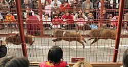 wild boar races