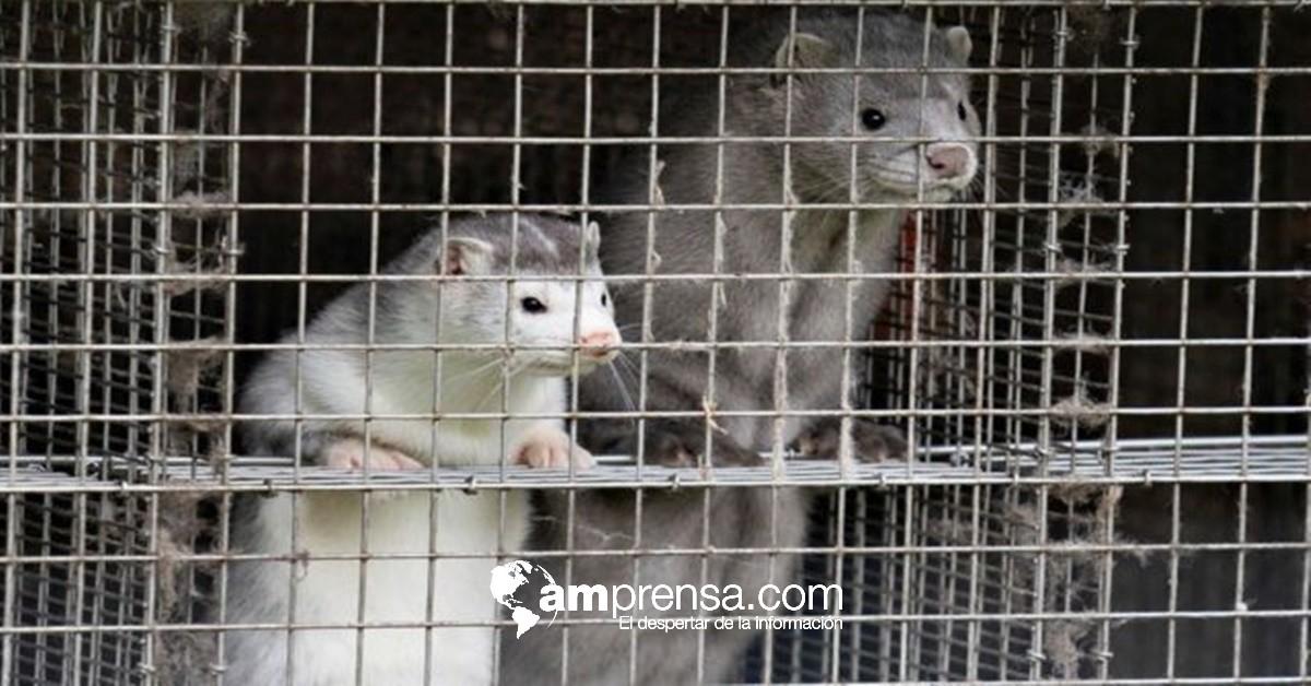 Sacrificarán mil visones tras detectar mutación de covid-19 en granja — Francia