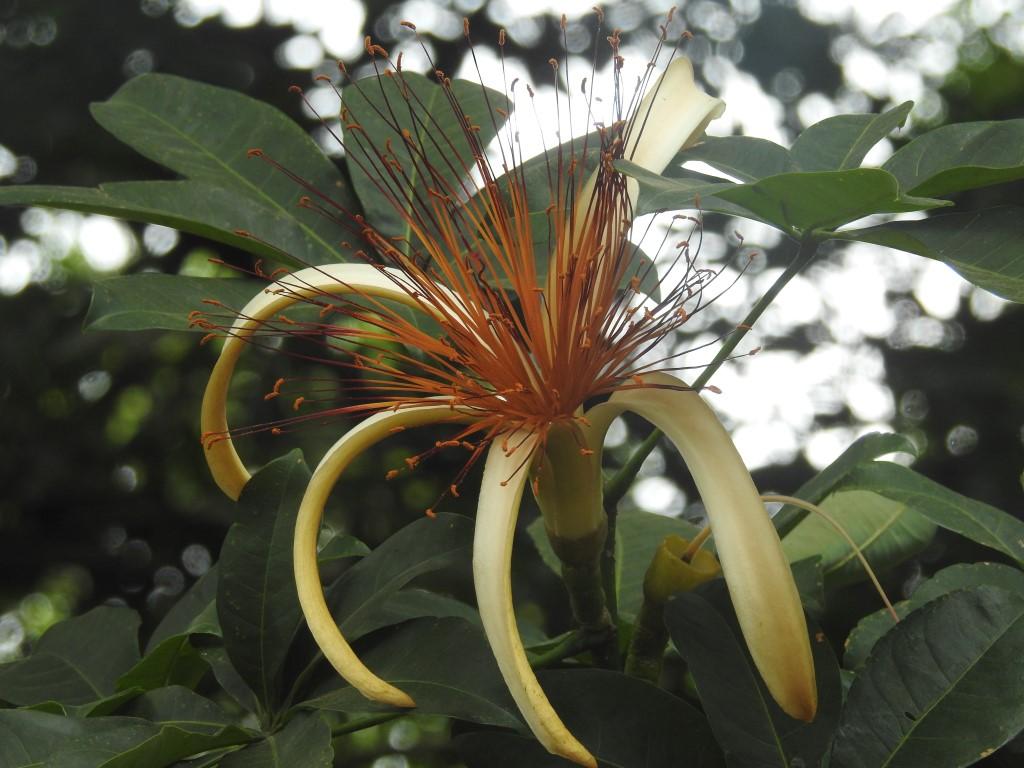 Pachira aquatica familia sapotaceae (Medium)