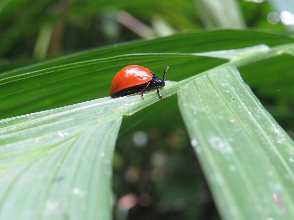 Coleóptero que son útiles para el frenado de plagas en las plantas.