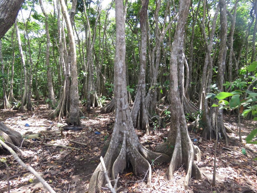Árbol de Sangre (Pterocarpus officinalis Jacq.) perteneciente a la familia FABACEAE.