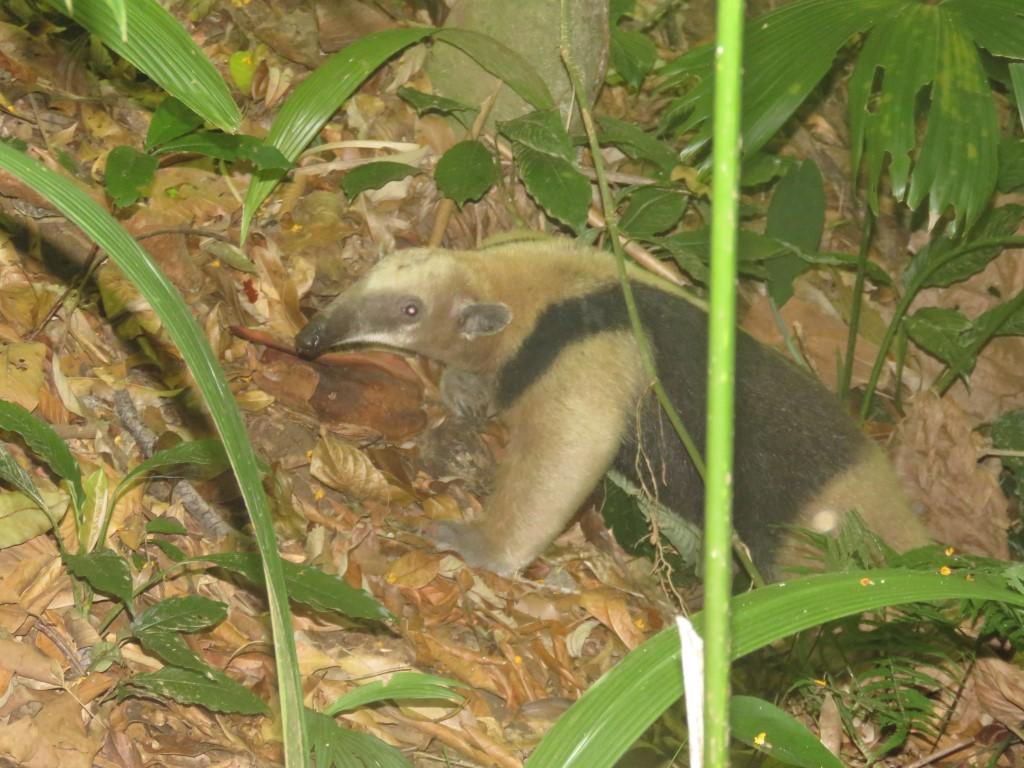 Oso Hormiguero de Chaleco (Tamandua mexicana Saussure (1860)) perteneciente a la familia Myrmecophagidae.