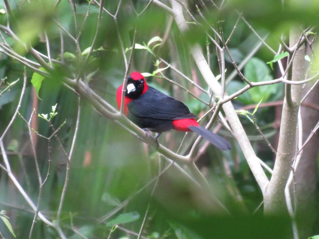 Tanagra (Ramphocelus sanguinolentus) pertenece a la familia THRAUPIDAE.