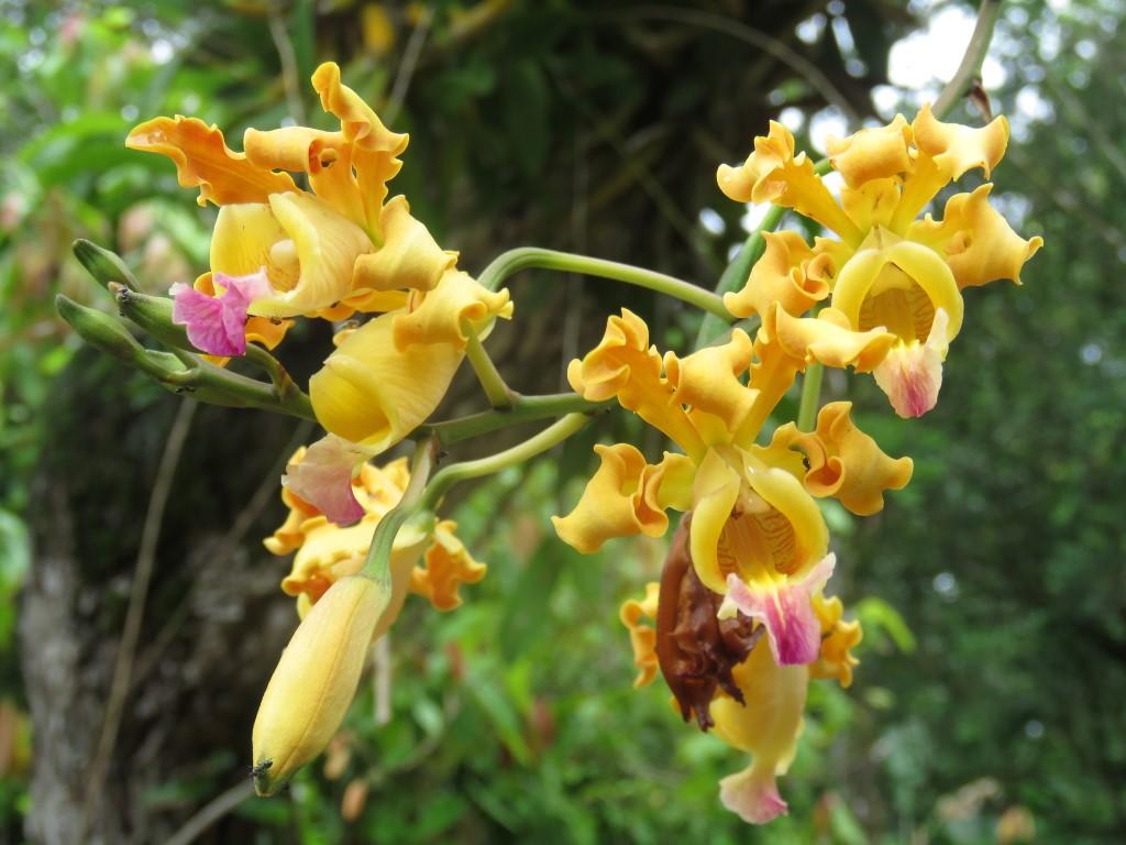Orquídea ( Myrmecophila brysiana (Lem.) G.C. Kenn. ) que pertenece a la familia ORCHIDACEAE.