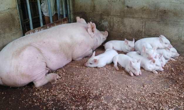 Los primeros frutos de nuestro Proyecto ¨Granja Porcina¨ en La Junta.