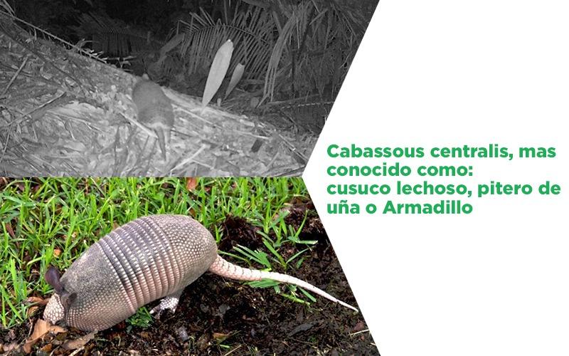 Un hallazgo más se trata de Cabassous centralis captado por primera vez por Cámara trampa.