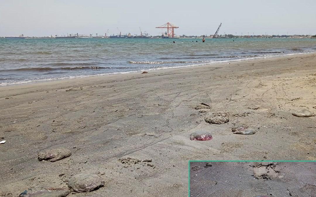 Tomamos muestra de las medusas encontradas en la Playa El Porvenir para hacer un estudio cientifico.