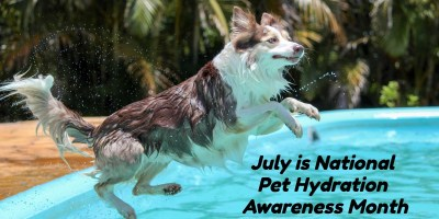 dog jumping in pool to avoid heat stroke