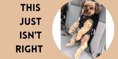 Dog in car harness uncomfortable
