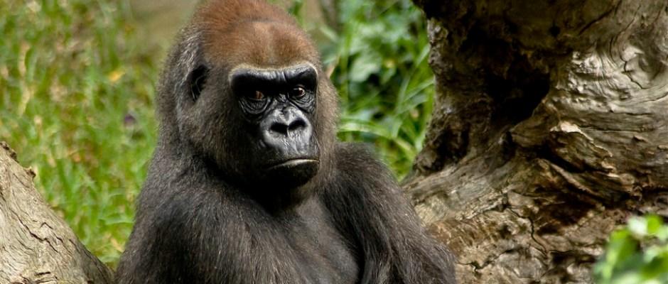 gorilla-bar