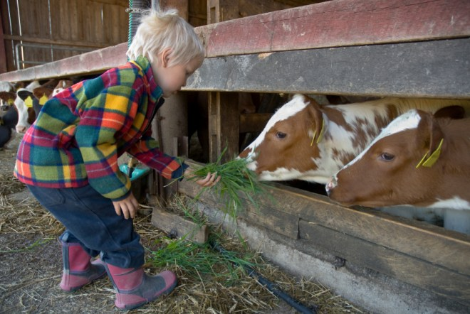Toddler feeding a cow with grass at a kinderboerderij (city farm) in Amsterdam