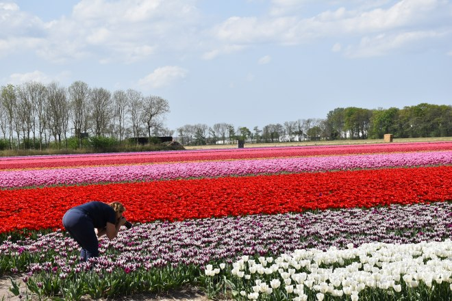 Photographer damaging tulip fields, The Netherlands