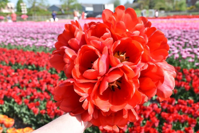Holding bunches of tulips The Netherlands