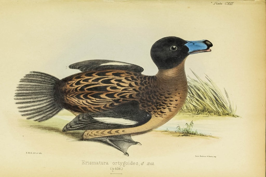 This duck species was named by 19th century mixed-race Jamaican naturalist Richard Hill.