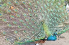 He sure captivated not only the peahens, but the humans too!