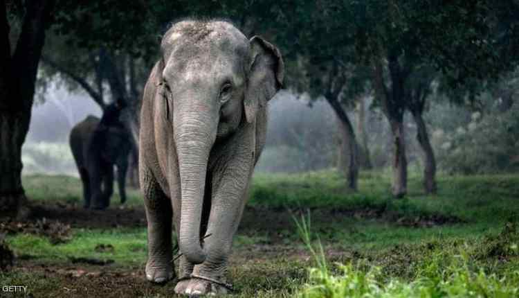 أفيال تايلاند