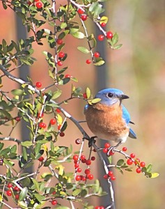bluebird-in-yaupon-holly-tree-jeanne-kay-juhos