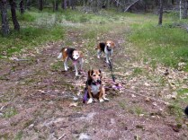 The beagles take a break.