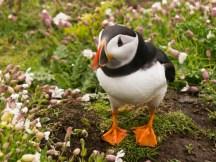Puffin - Skomer Island, Pembrokeshire