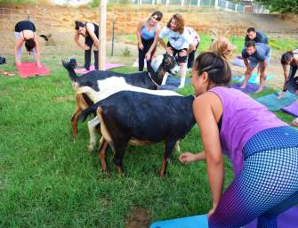 What The Heck Is Goat Yoga?