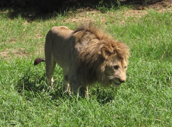 Whatever you do, do not tease the lions about having a bad hair day.