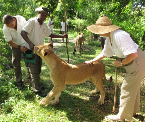 A woman, accompanied by two trainers, pets a lion in Mauritius.