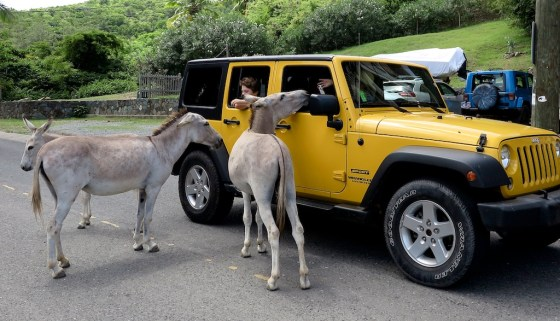 Friendly free-range donkeys approach a jeep in Coral Bay, St. John. Copyright Amy Laughinghouse.