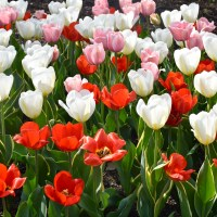 A Garden Tour Of Chicago's Tulips