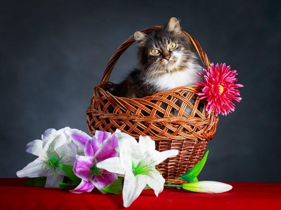 lilies poison pets