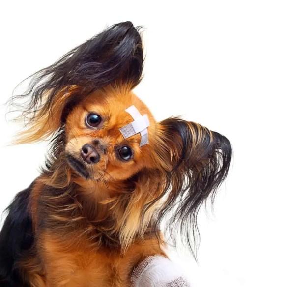 Toy terrier dog.