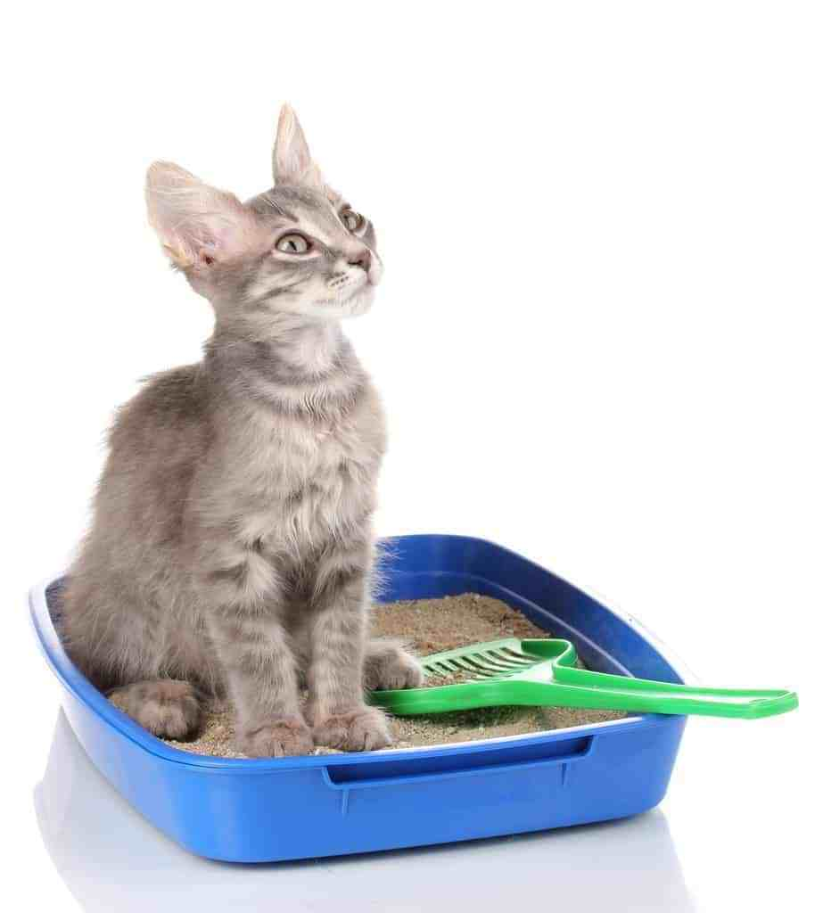 litter box cat